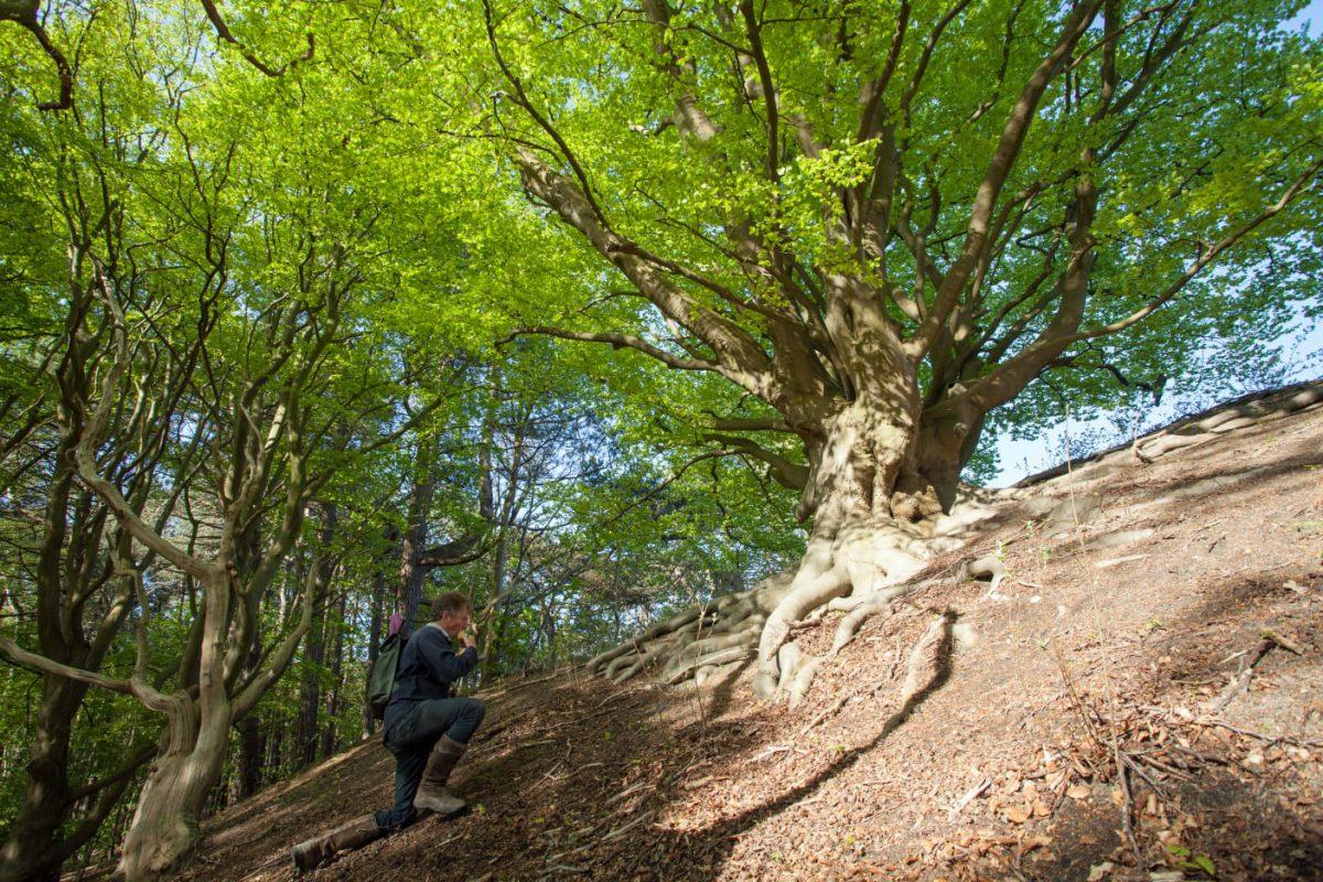 Prachtboom: de Beuk bij Voorlinden